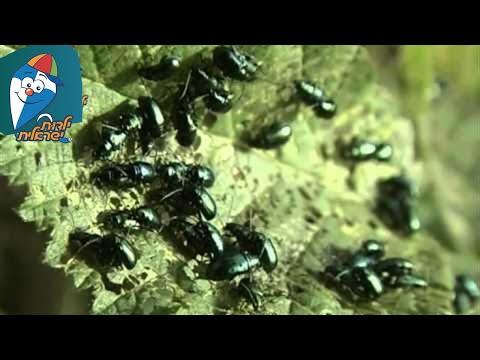טבע ישראלי: חיפושית פרחים