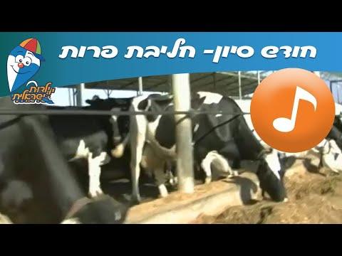 חודש סיון: חליבת פרות